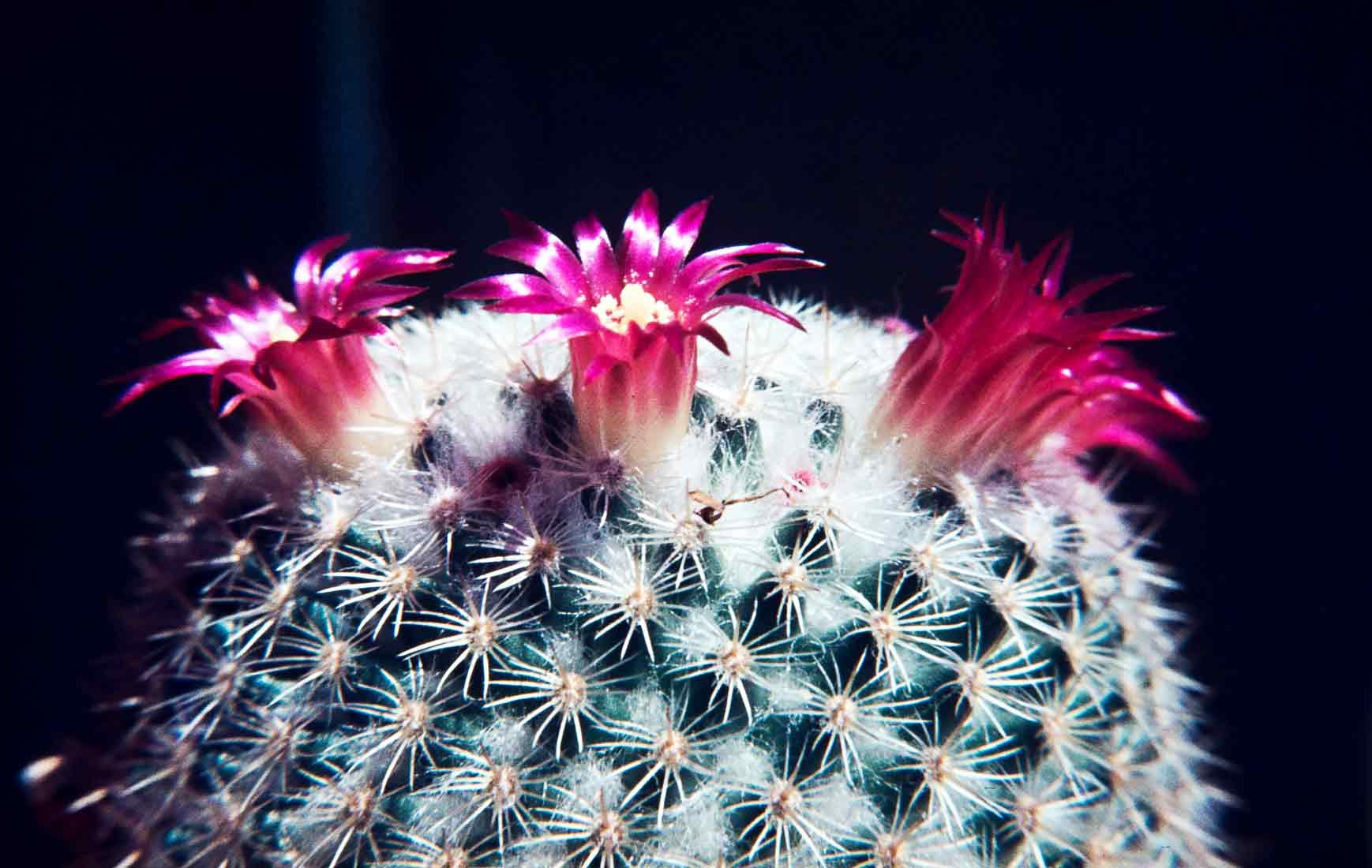 Mammillaria-klissingiana-1981