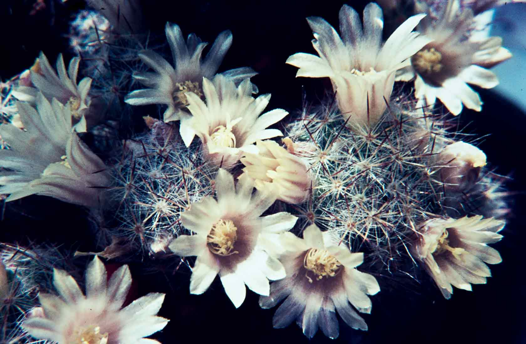 Mammillaria-prolifera-1968