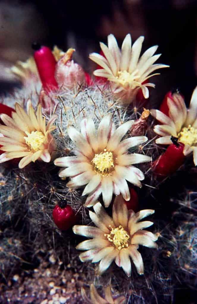 Mammillaria prolifera 1971