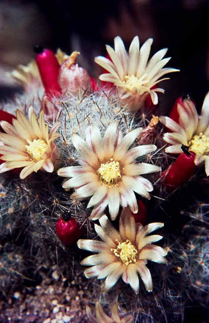 Mammillaria-prolifera-1971