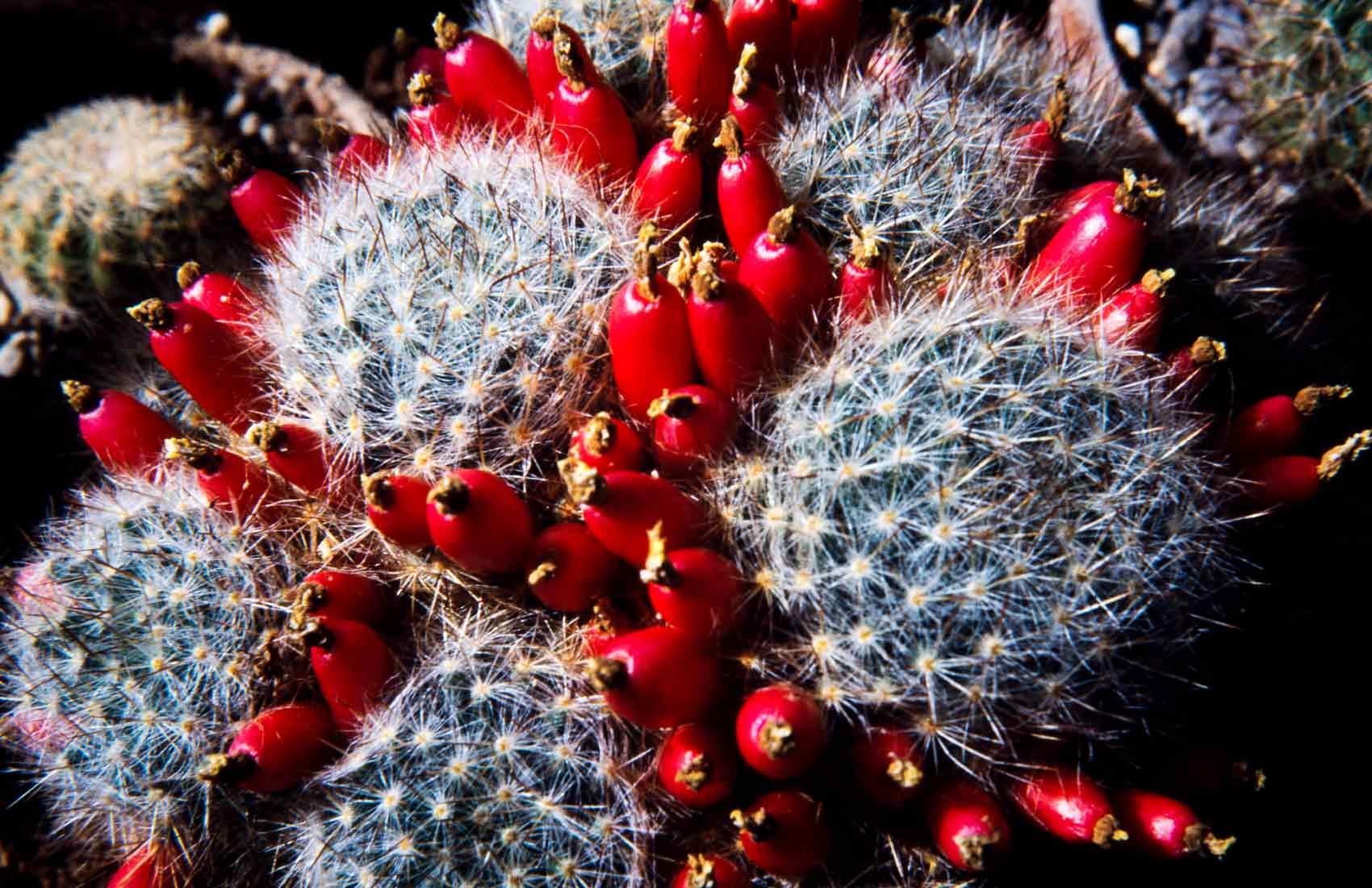 Mammillaria-prolifera-1989