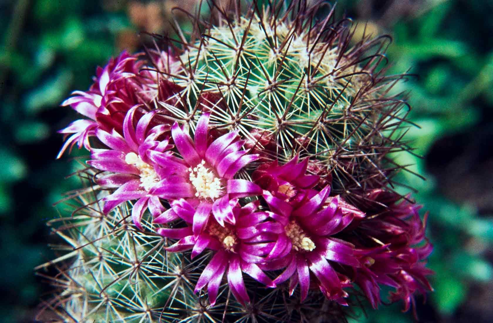 Mammillaria sheldonii 1971