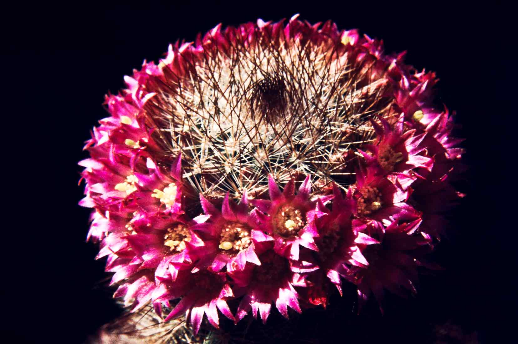 Mammillaria spinosissima 1984 1