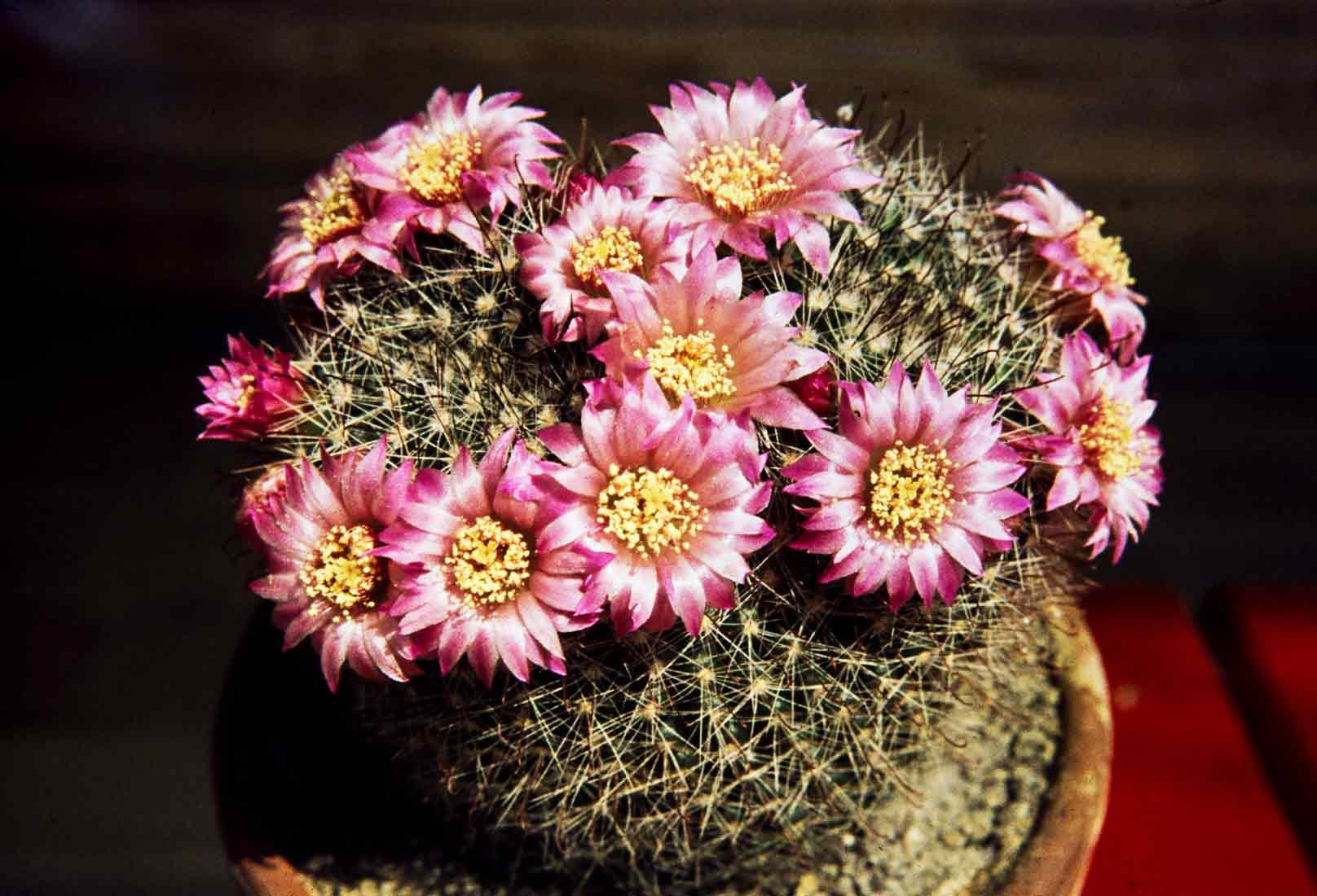 Mammillaria zeilmanniana 1978