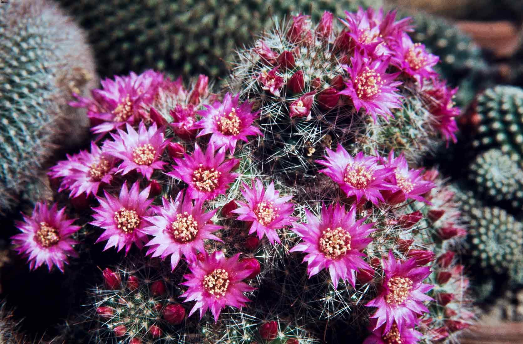 Mammillaria-zeilmanniana-1983
