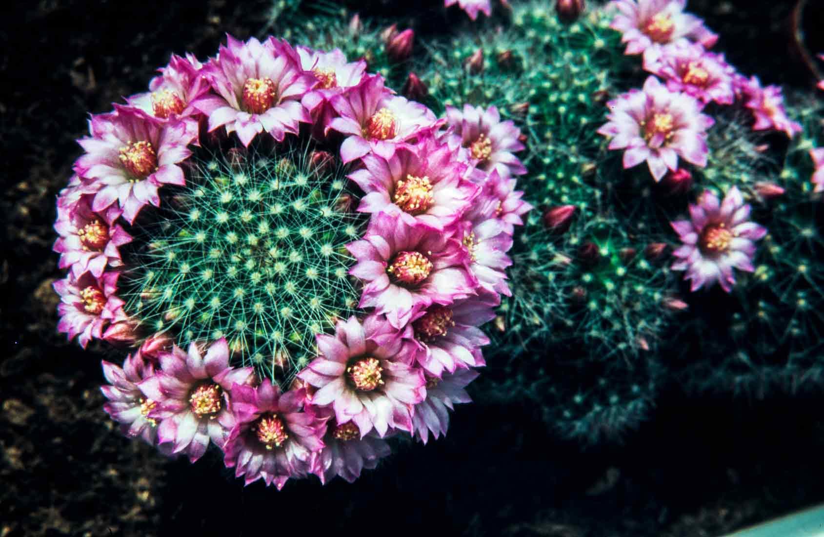Mammillaria-zeilmanniana-1988