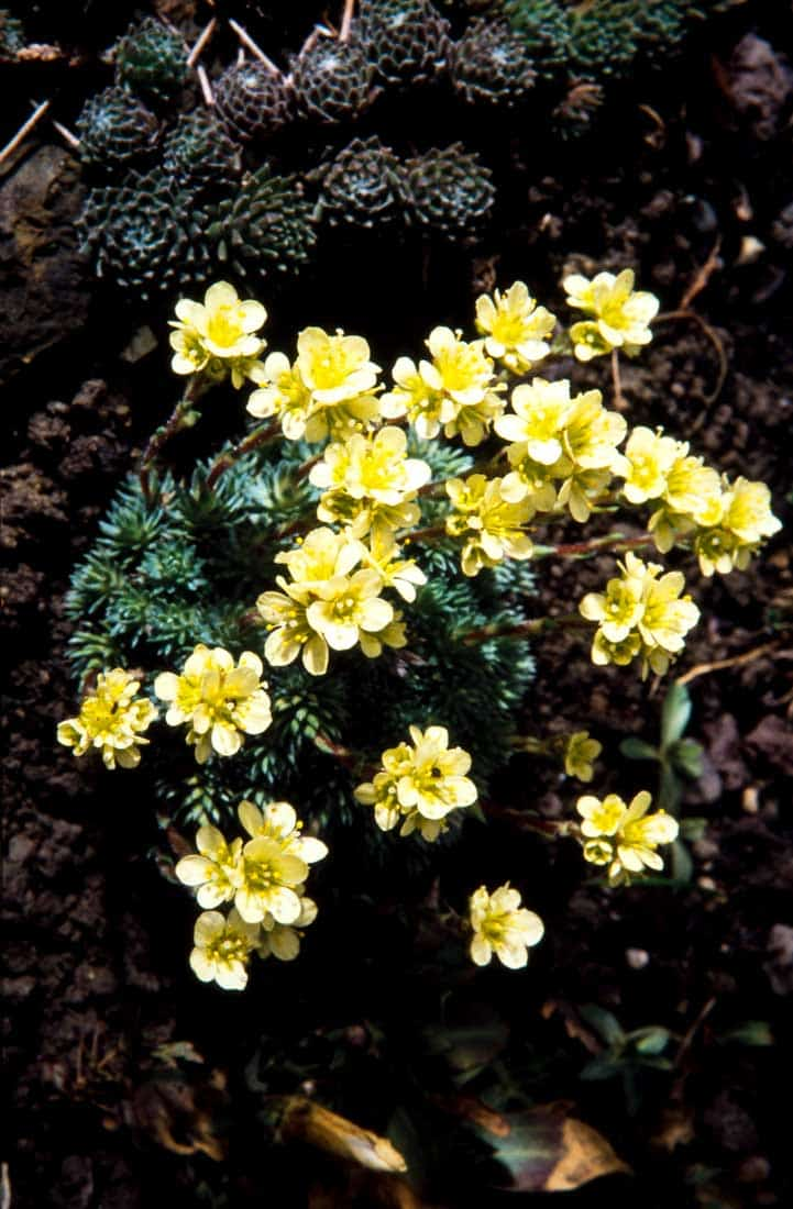 Saxifragaceae 8