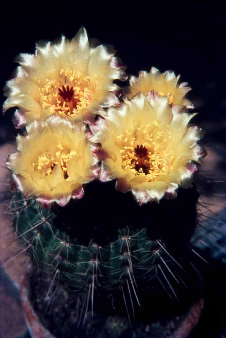 Notocactus-1970