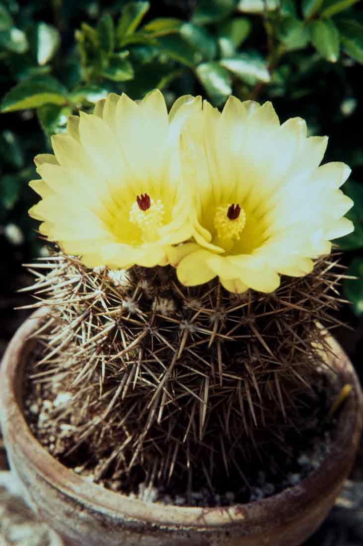 Notocactus-1972