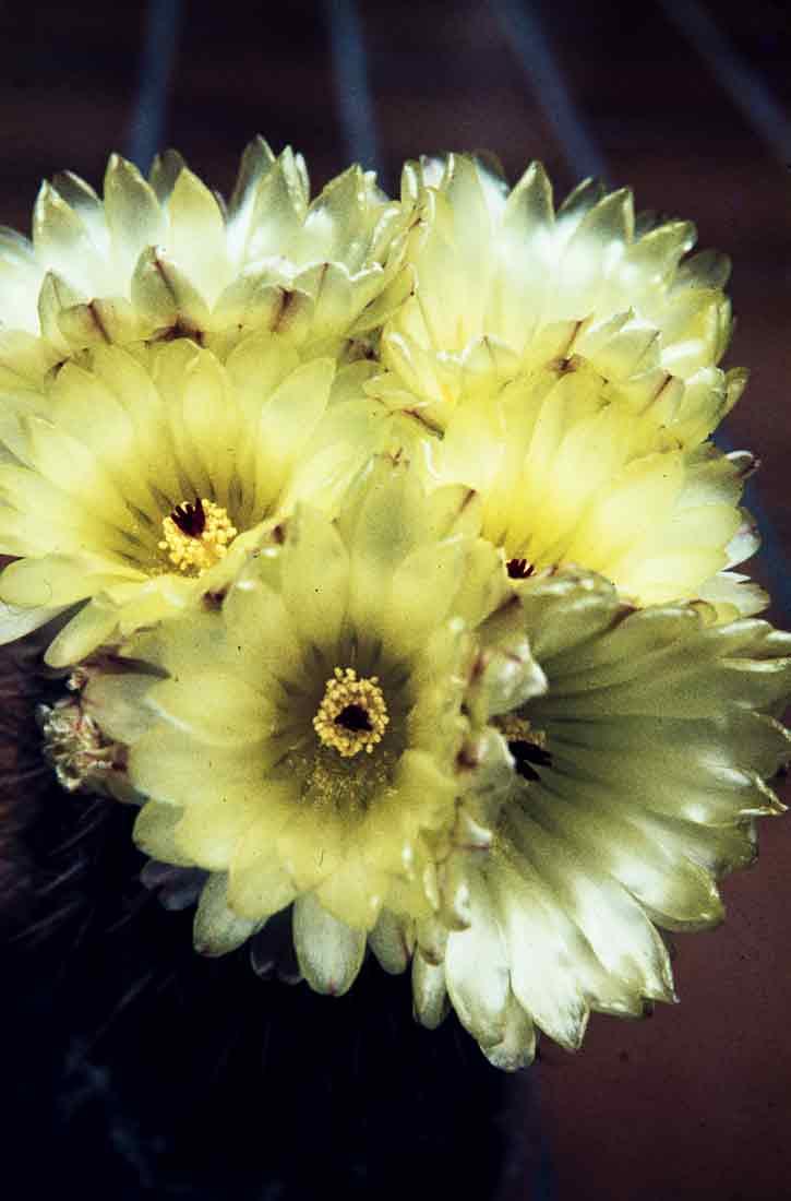 Notocactus 1983