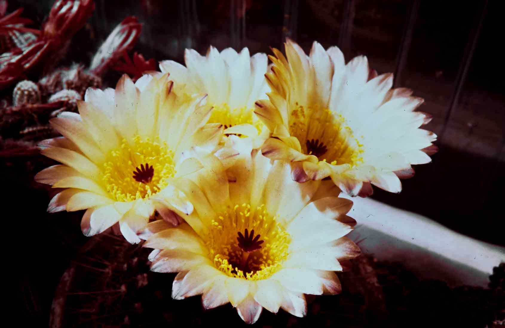 Notocactus 1991