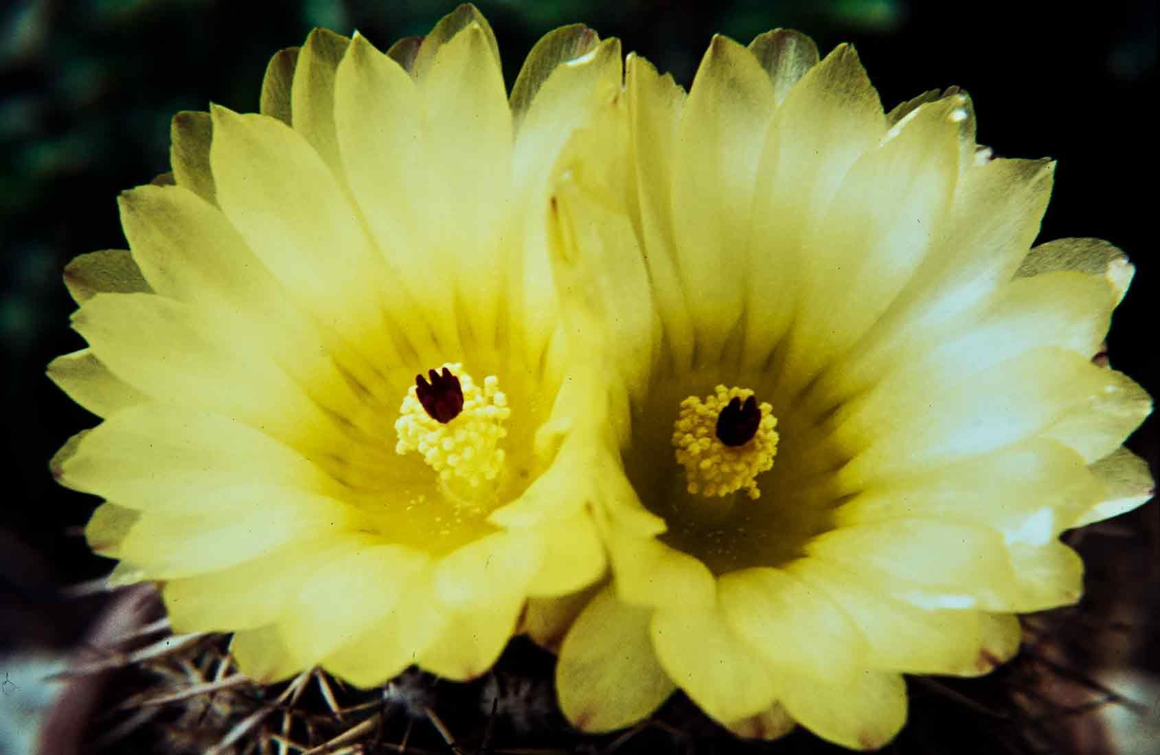 Notocactus mammulosus 2 1972