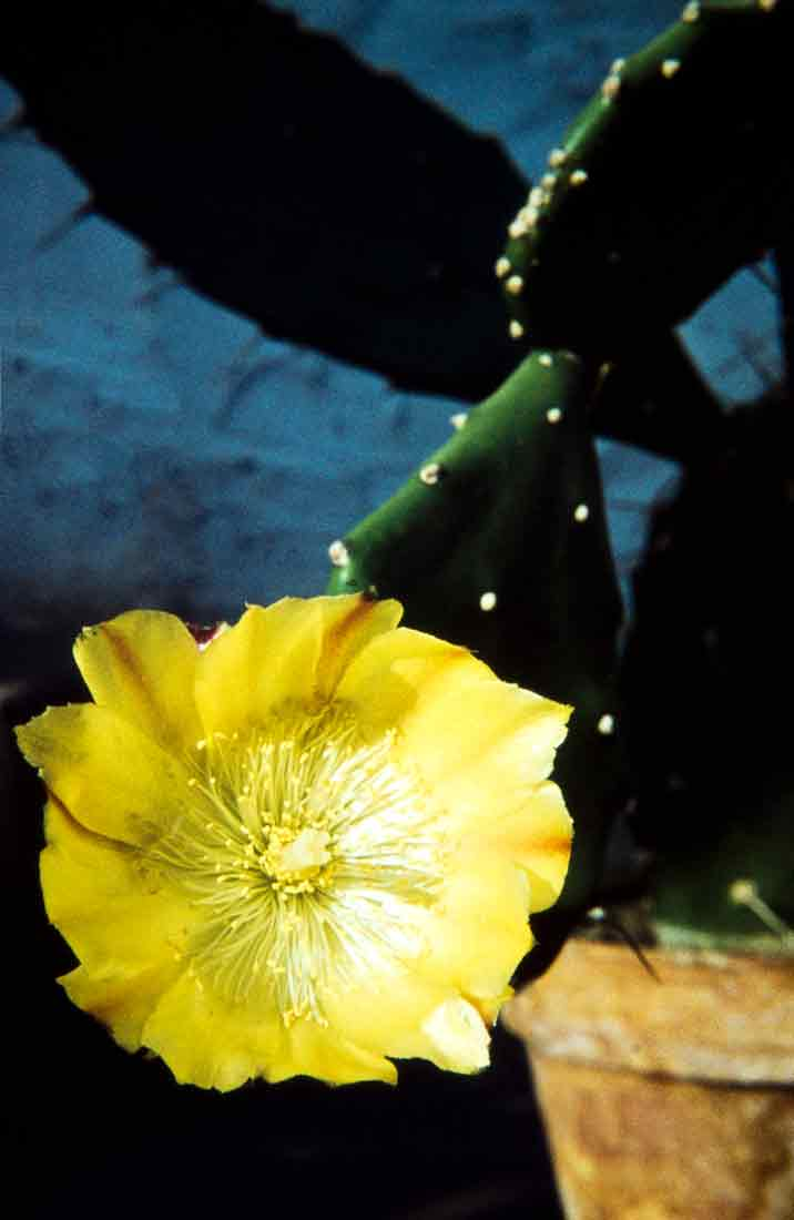 Opuntia-ficus-indica-1960