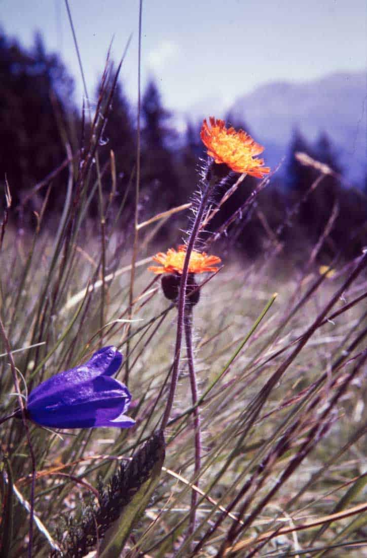 Orangerotes-Habichtskraut-1986