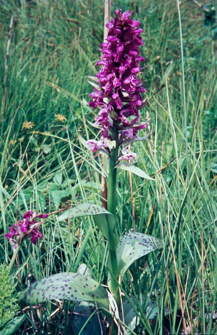 Orchis-Latifolia-2-1969