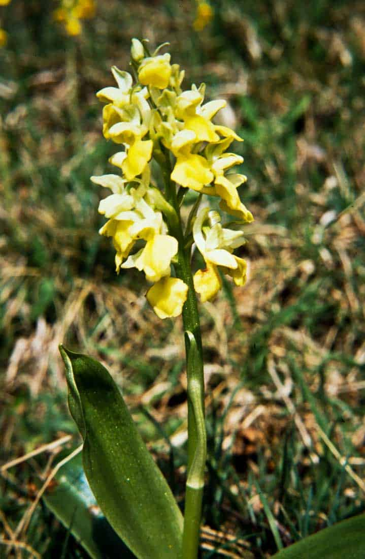 Orchis pallens 1989