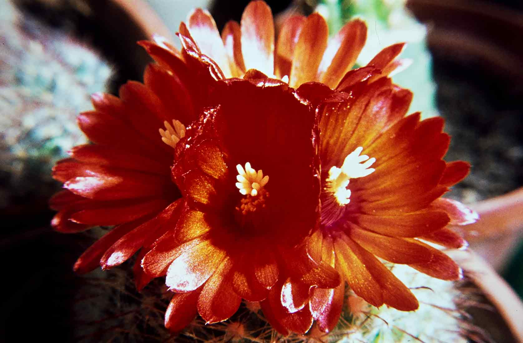 Parodia sangniniflora 1975
