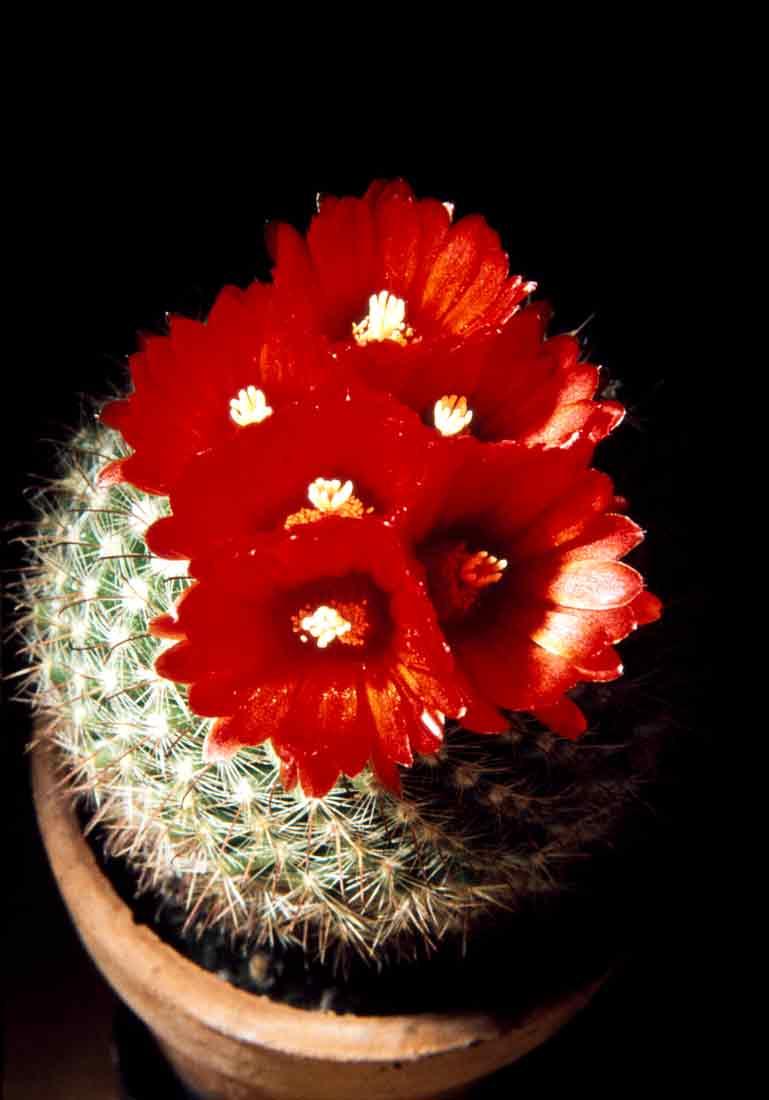 Parodia-sangniniflora-1977