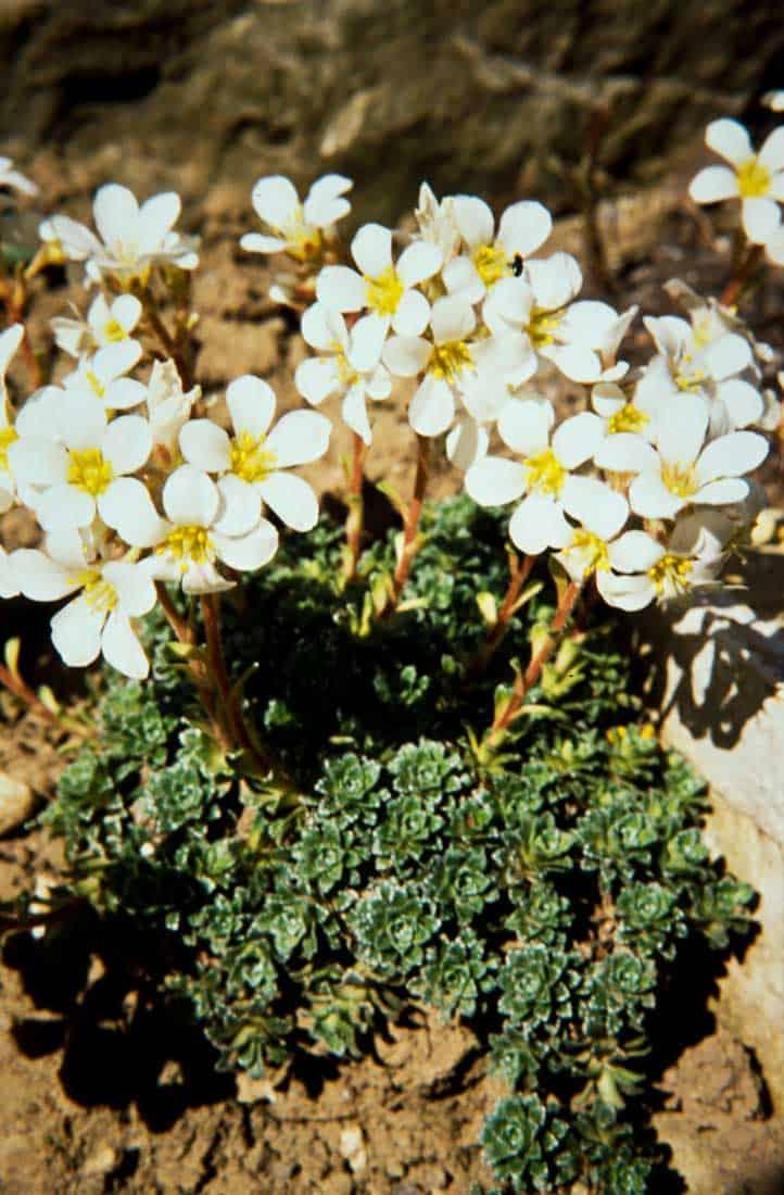 Saxifragaceae 3