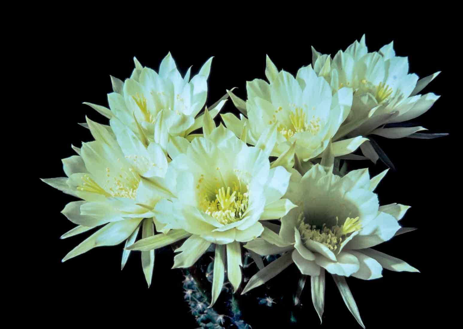 Pseudolobivia-polyacantha-1980