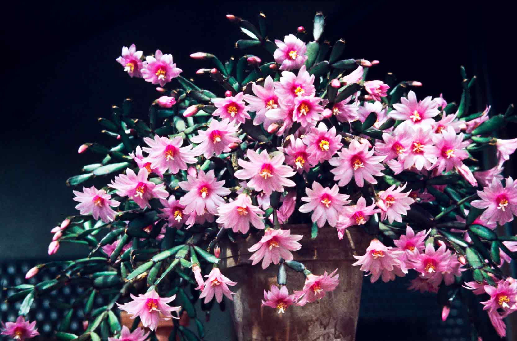 Rhipsalidopsis rosea 1983