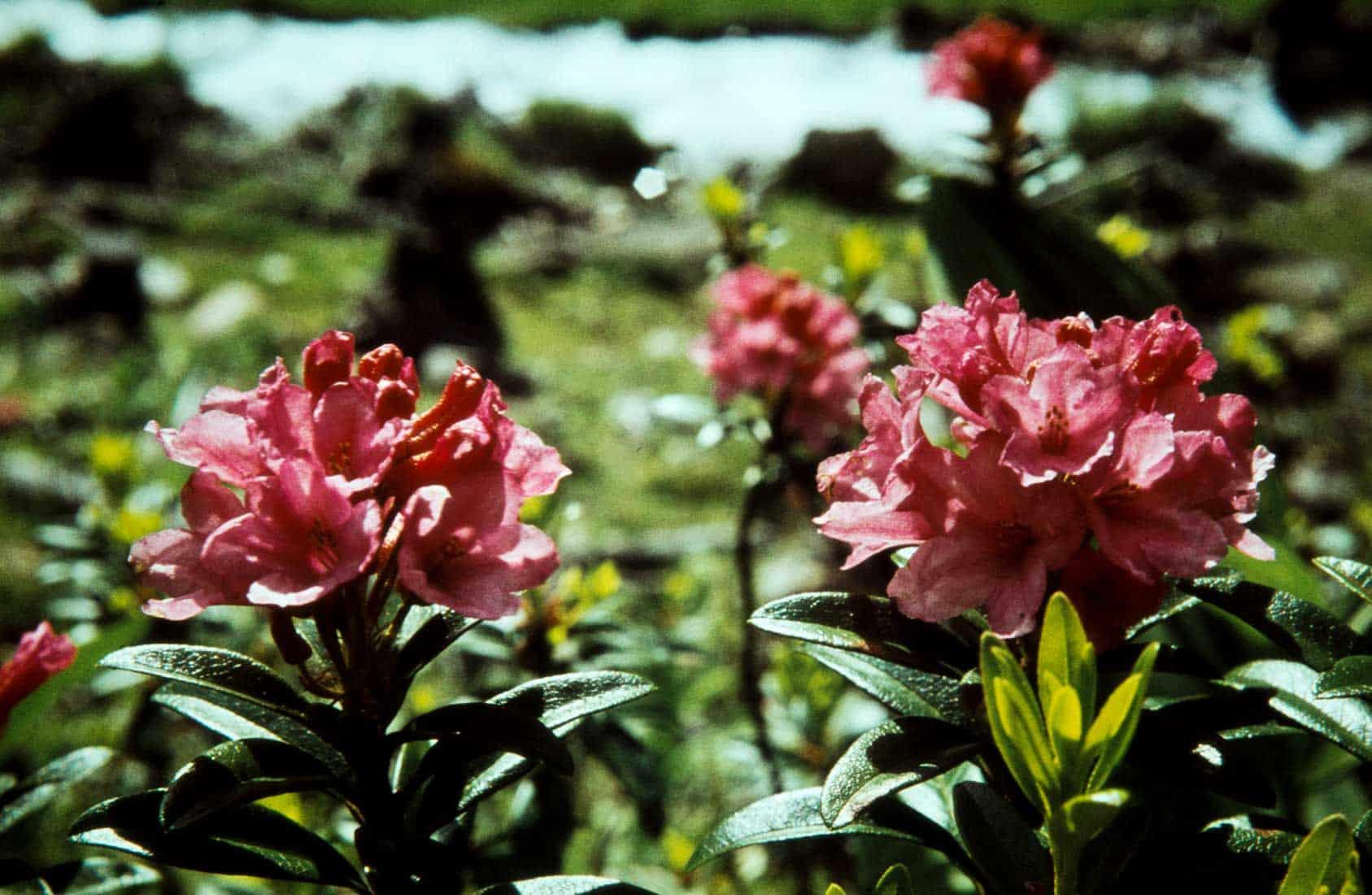 Rostblaettrige-Alpenrose-1960