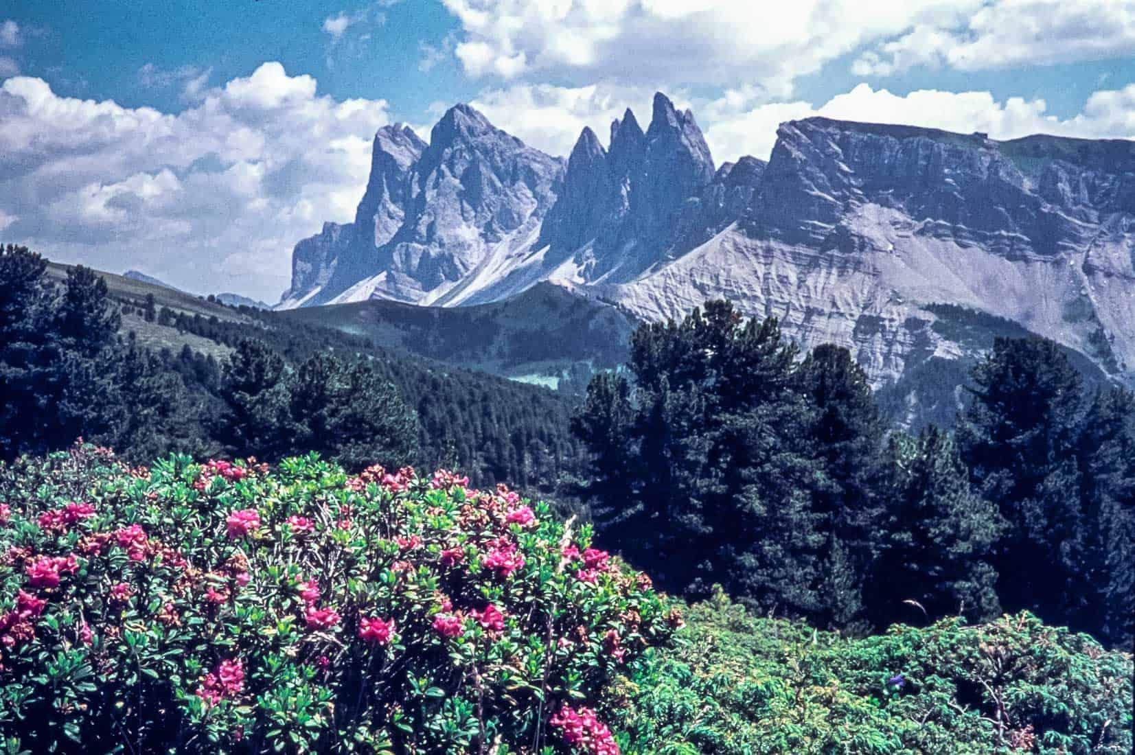 Rostblaettrige-Alpenrose-1976