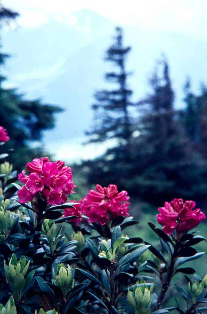 Rostblaettrige-Alpenrose-2-1974