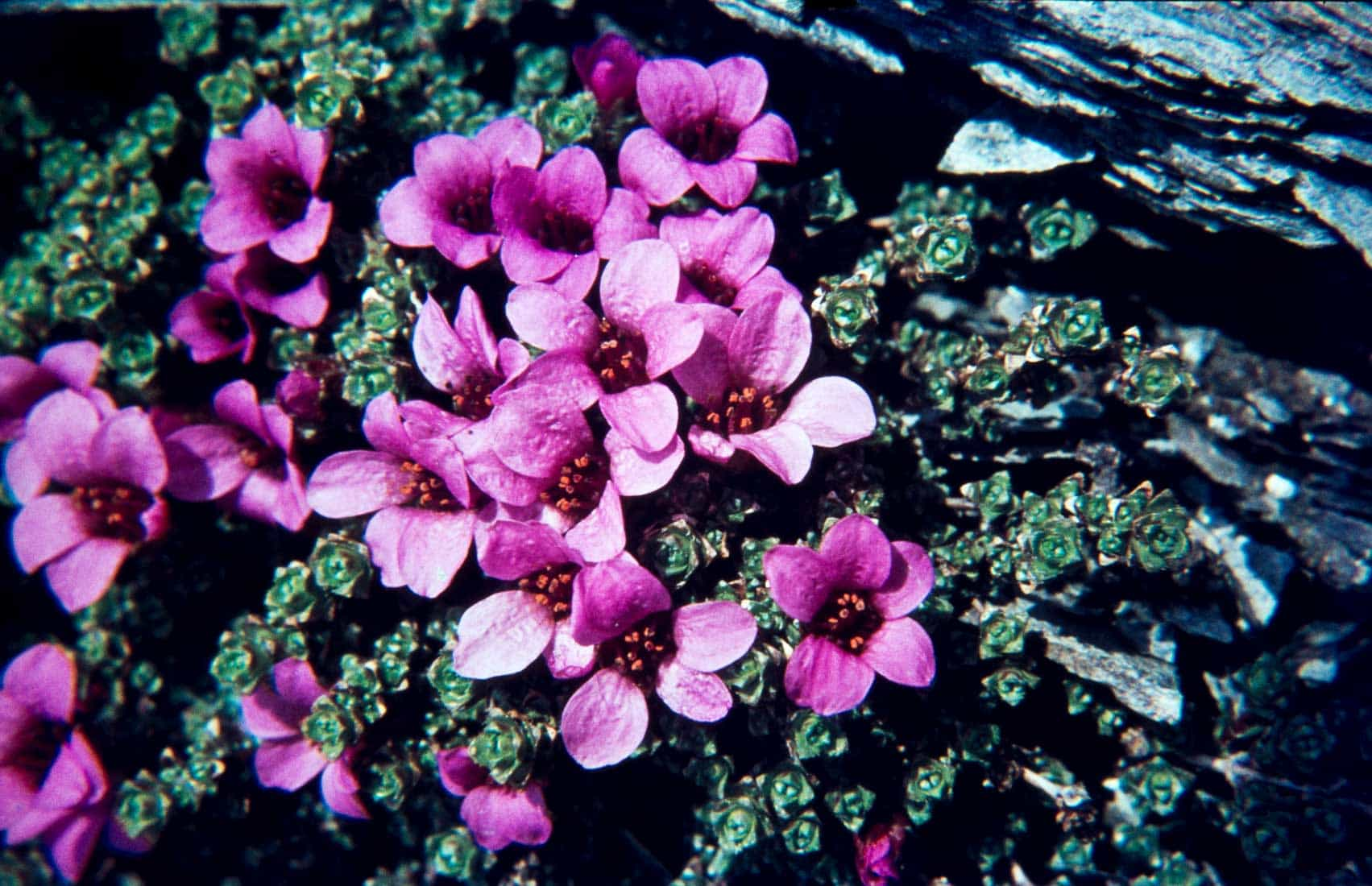 Saxifragaceae 7