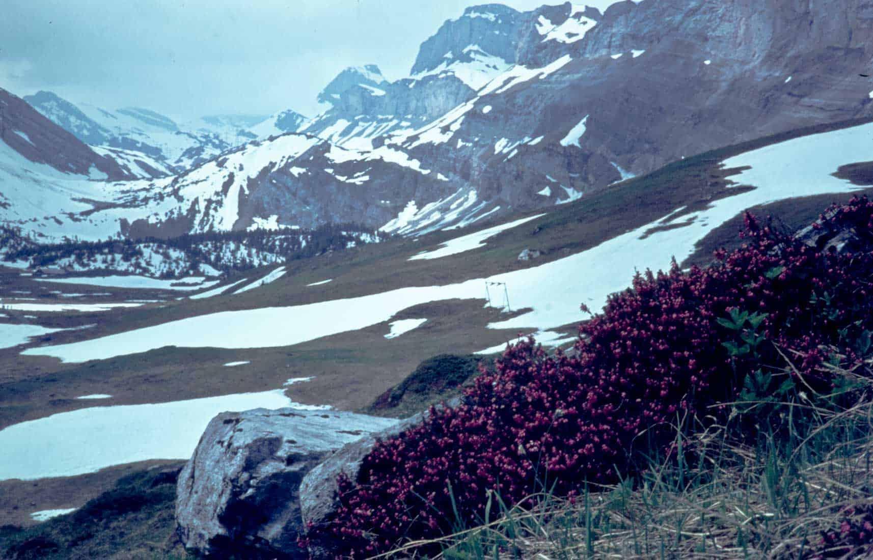 Schneeheide-Erica-1970