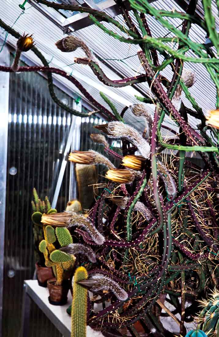 Selenicereus-pteranthus-1989