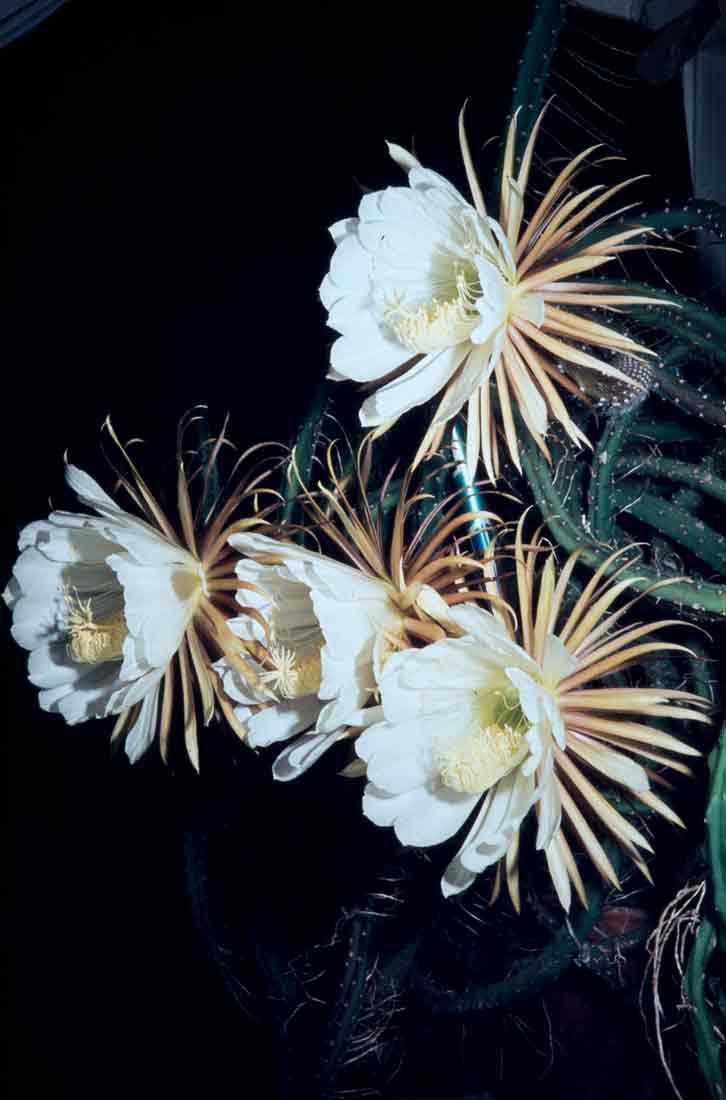 Selenicereus-pteranthus-1983