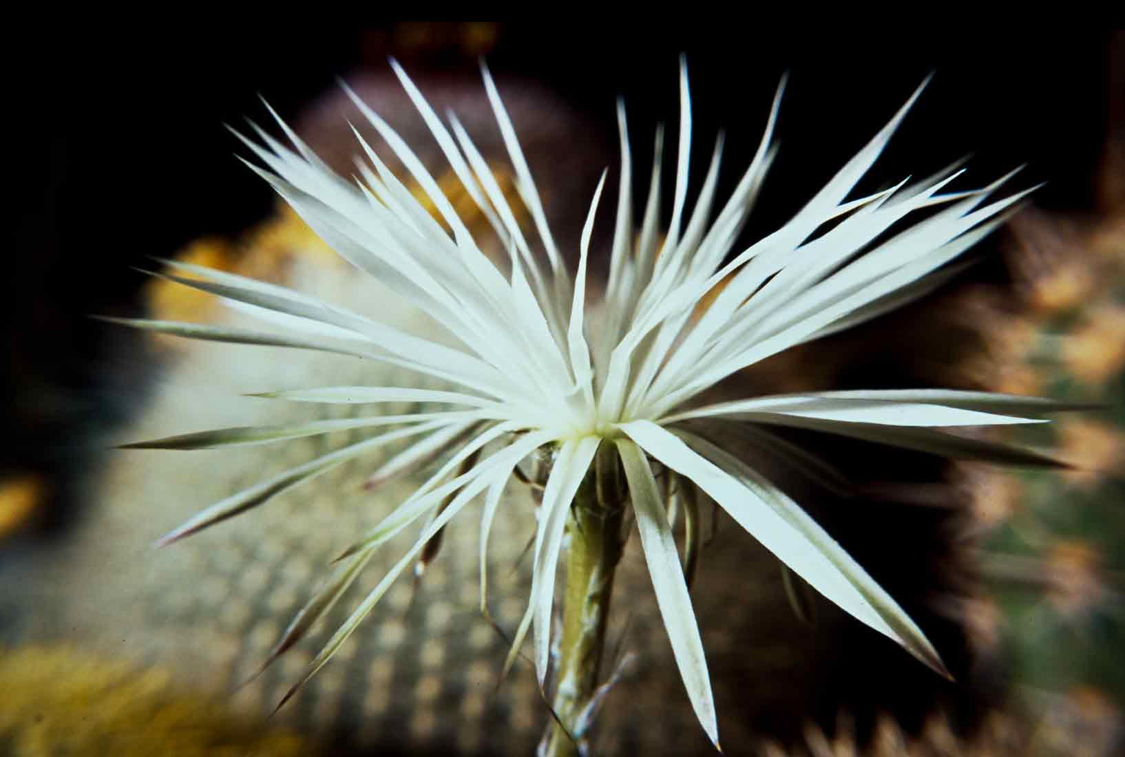 Setiechinopsis mirabilis 1989