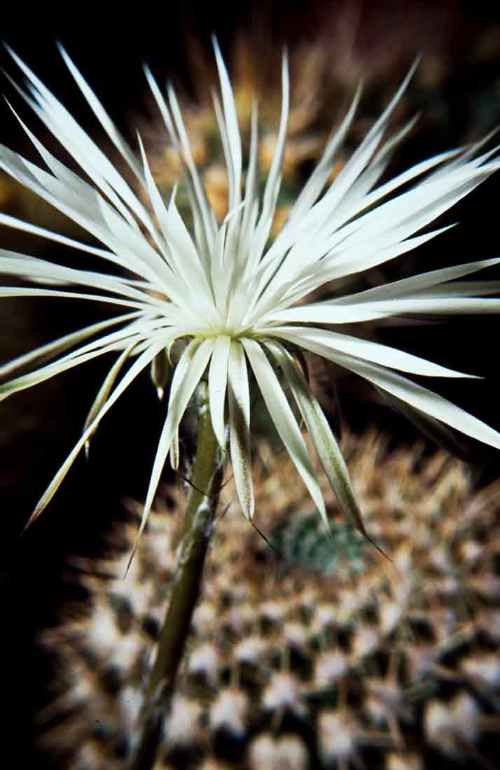Setiechinopsis mirabilis 2 1989