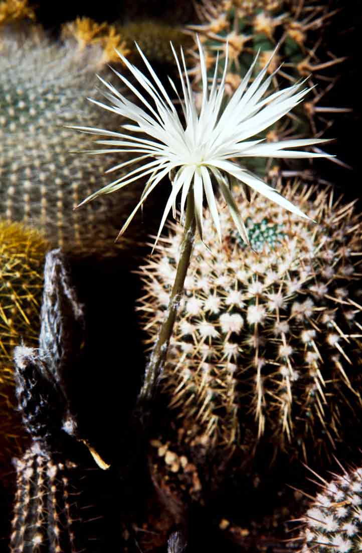 Setiechinopsis mirabilis 3 1989