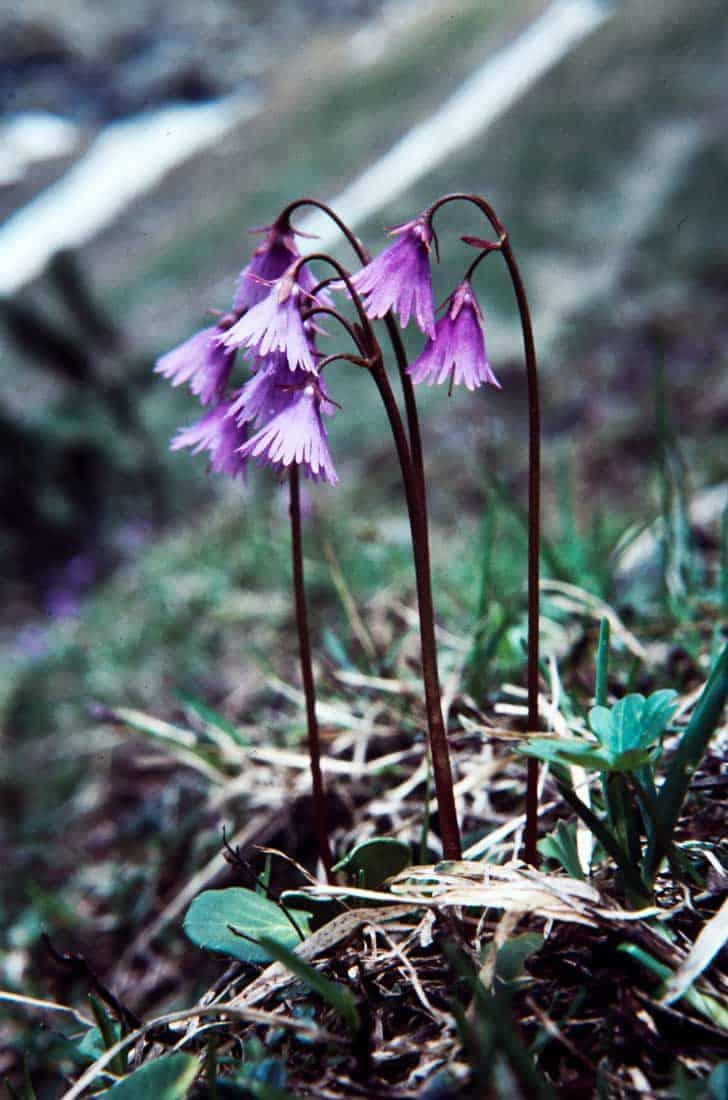 Soldanella-alpina-1985