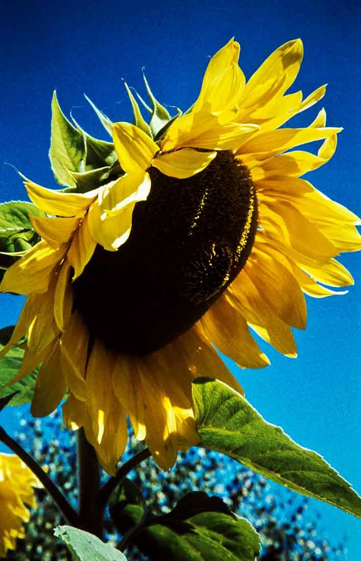 Sonnenblume 1959