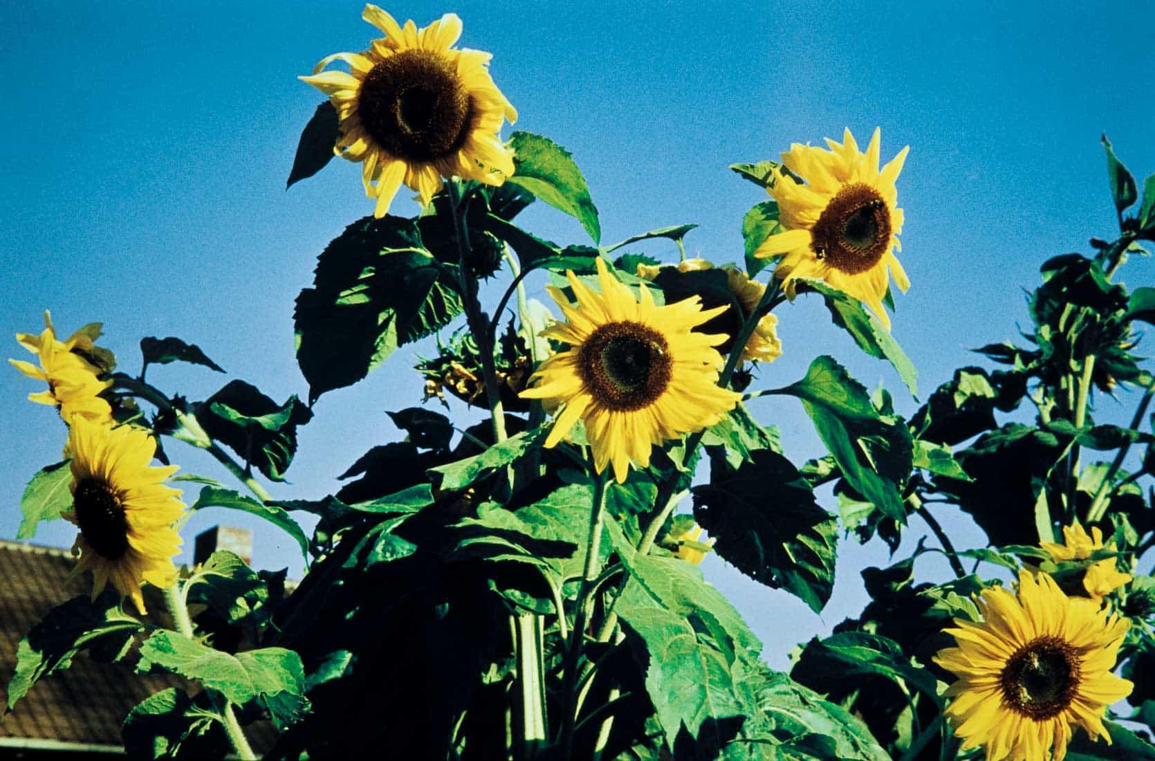 Sonnenblumen 1958