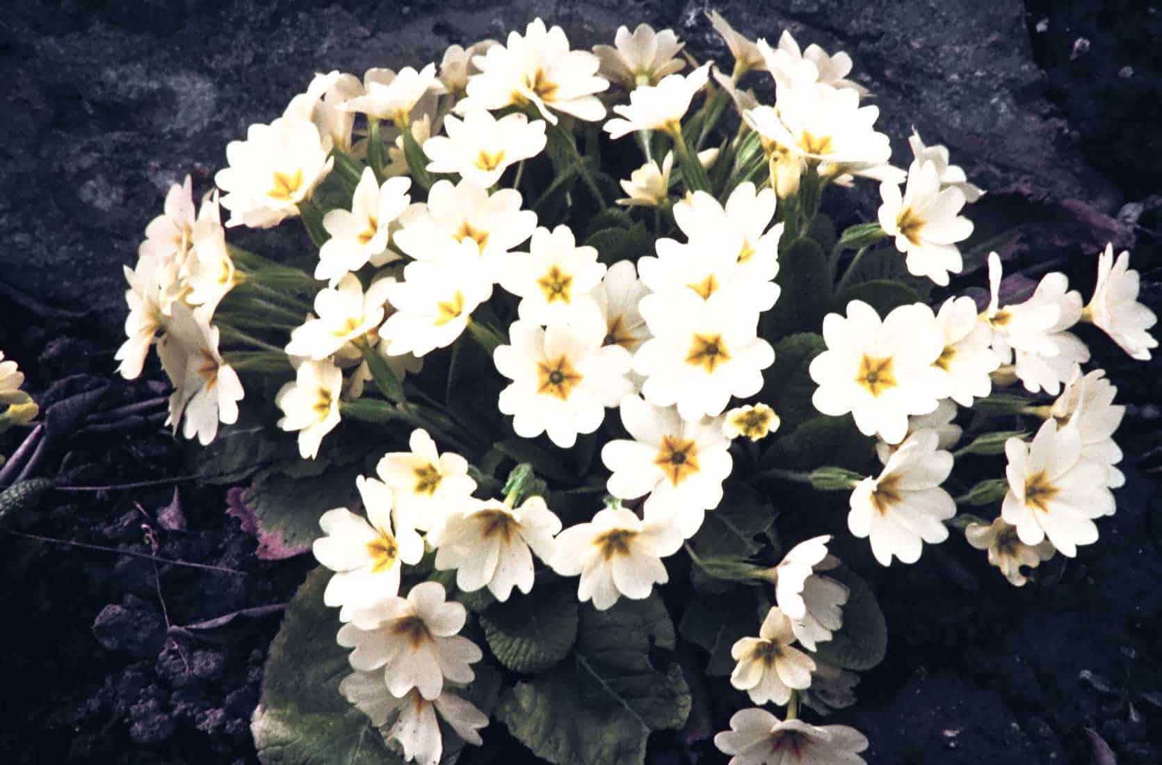 Staengellose-Schluesselblume-1989