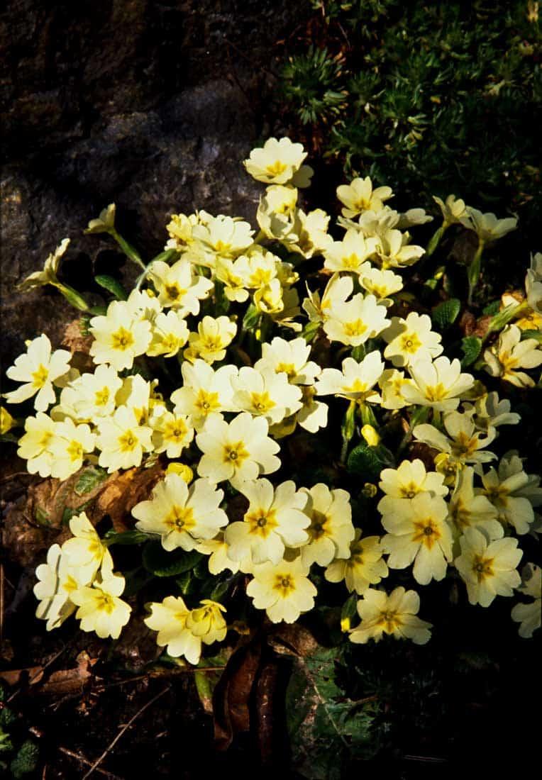 Staengellose-Schluesselblume-1991