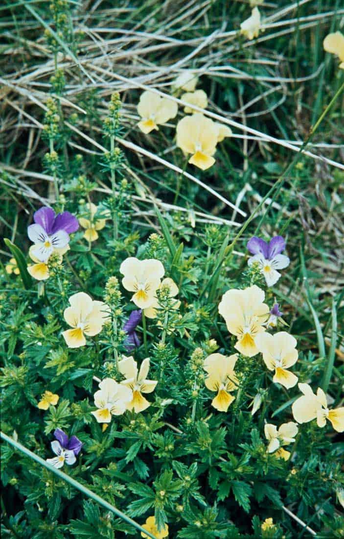 Violaceae 3