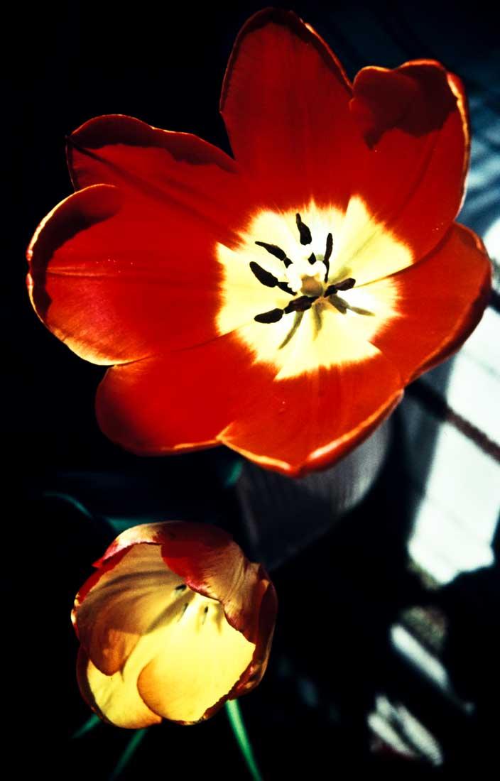 Tulpen-1957