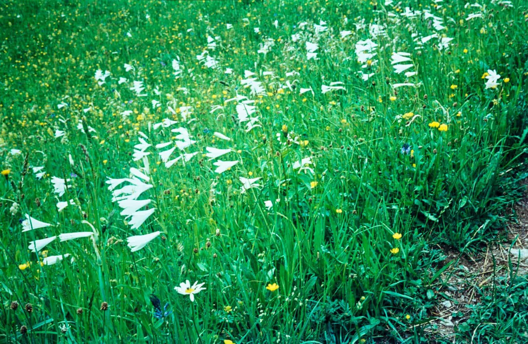 Weisse Trichterlilie 1970