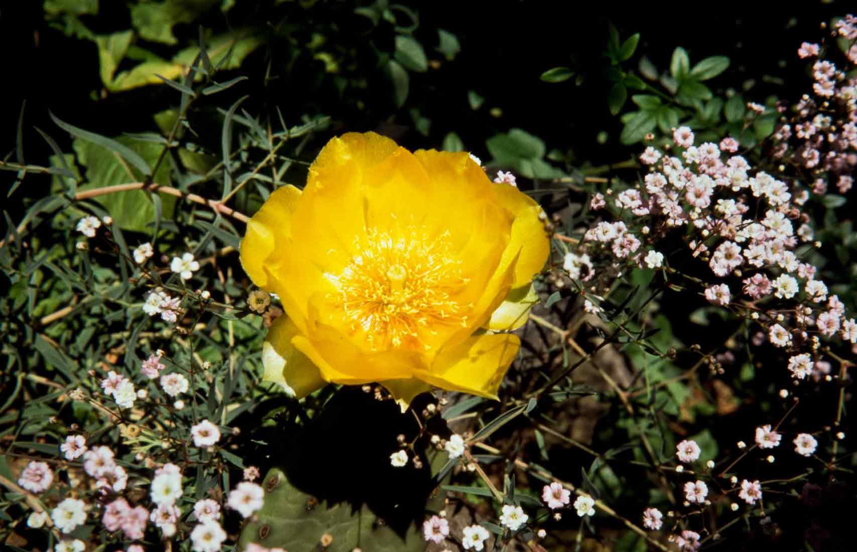 Winterharter Opuntia 2 1990
