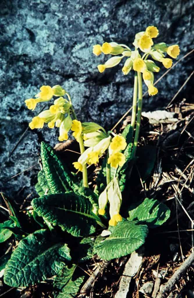 Wohlriechende-Schluesselblume-1958