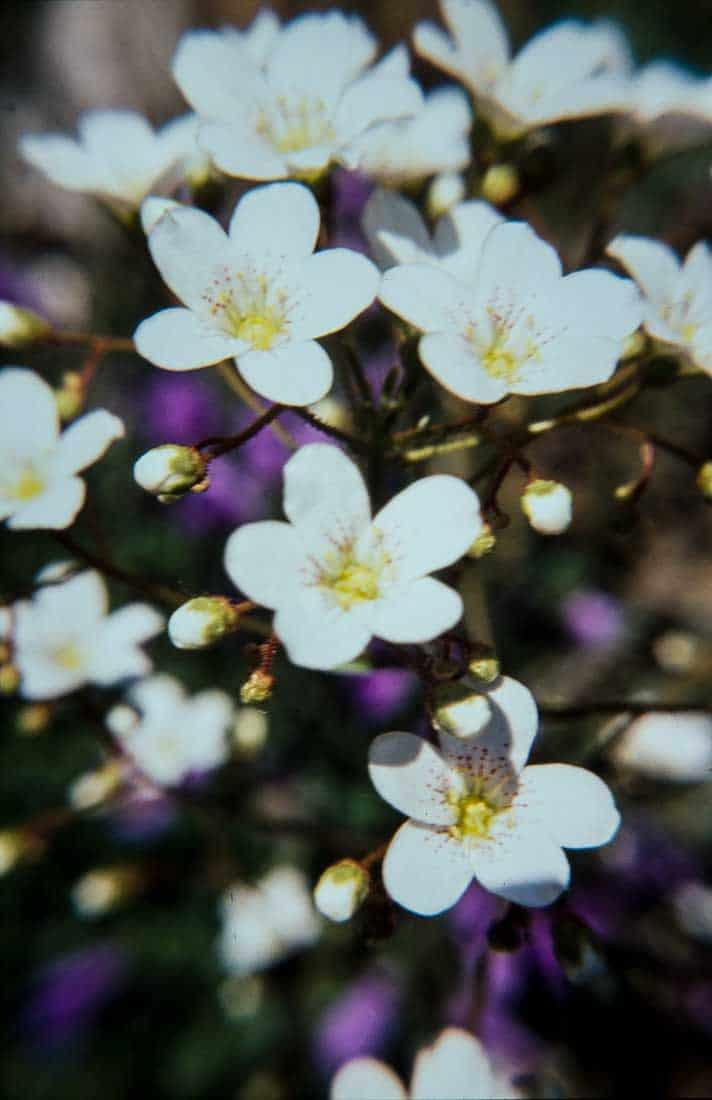 Saxifragaceae 1