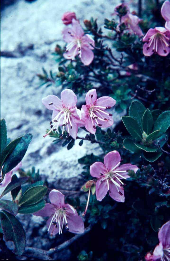 Zwerg-Alpenrose-1967