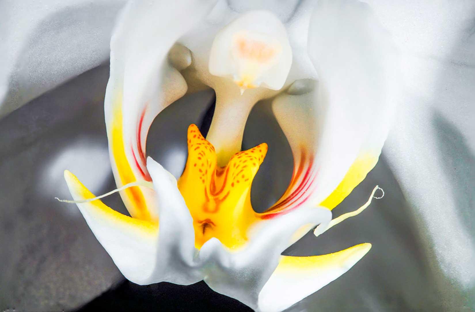 Phalaenopsis-Stempel