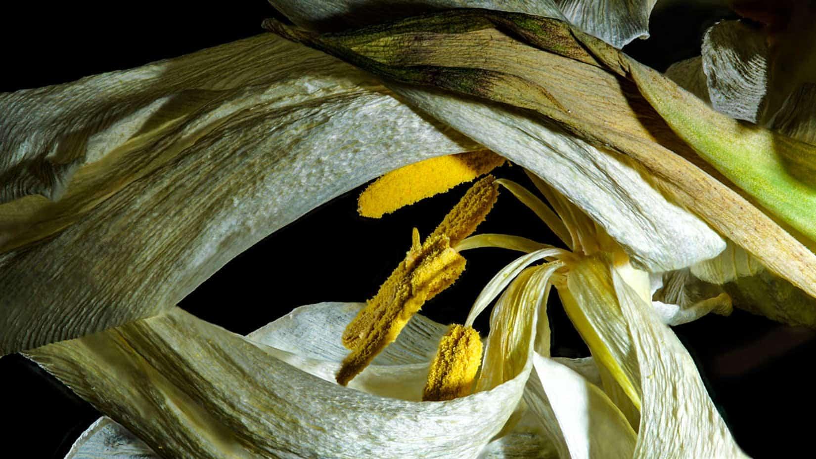 Tulpe-verwelkt
